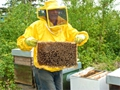 La raccolta del miele